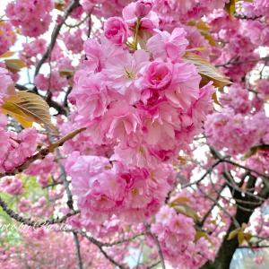 母の日と八重桜