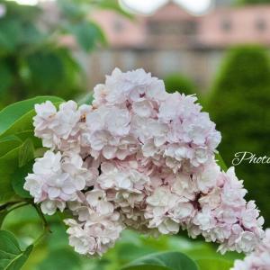 札幌の花 ライラック