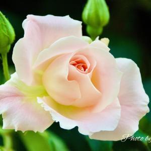 札幌市大通公園のバラ