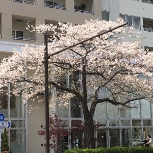 桜満開だけど、