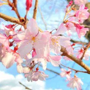 桜きたーー