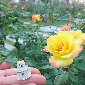 秋のバラが目に染みる。~中之島バラ園~