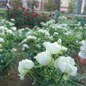 白い薔薇と白い妖精?~中之島バラ園~