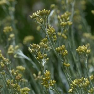 ライスフラワー(Rice flower)→ ヘリクリサム・イタリクム コルマ