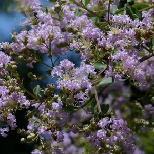 ムラサキサルスベリ(紫百日紅)