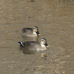 公園の鴨 ひぐらし池