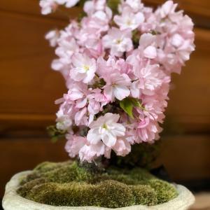 盆栽桜&CUE!