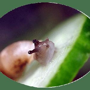 今日の煙管貝(飼育)