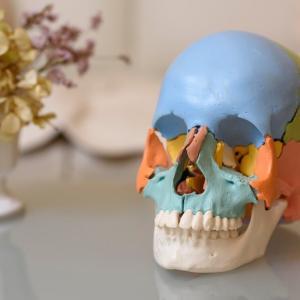 頭蓋、頸部、口腔内解剖学