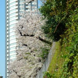 【街歩き】今年のさくら ソメイヨシノ