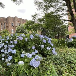 大学構内の大きな紫陽花!