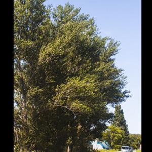 巨大なポプラ並木