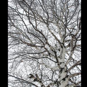雪を被った白樺の木