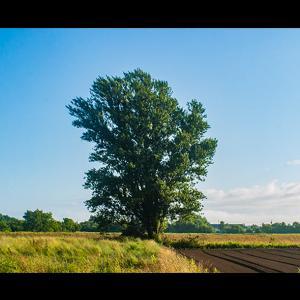 畑地に立つ一本の木