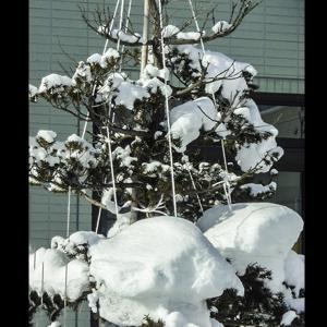 庭木に積もった多量の雪