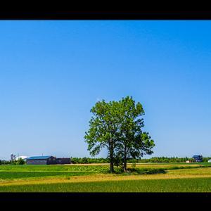 農地に立つ一本の木