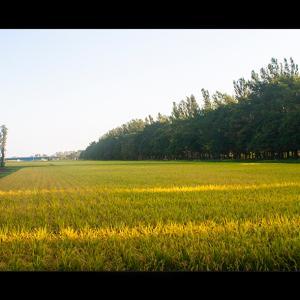 茨戸川近くの米作地帯