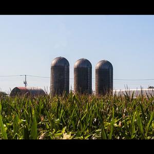 牧場と秋の味覚トウモロコシ畑