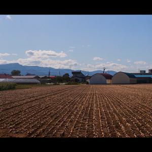 収穫直前のタマネギ畑