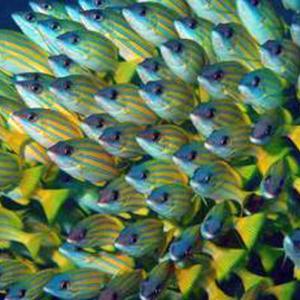 海のアイドル再演-158 「ヨスジフエダイの群れ」