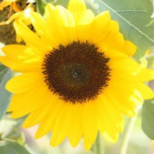 #向日葵の花 #鹿児島
