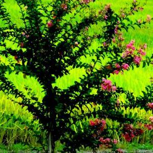 25.4℃の良い天気の一日となりました。午後から枚方市の稲田の畦に咲くヒガンバナを見に出かけてきました。