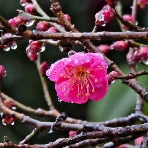9.8℃雨の降る一日となりました。鏡伝池でスナップをした後、京都に出かけてJPS会員有志関西展の会場に寄ってきました。