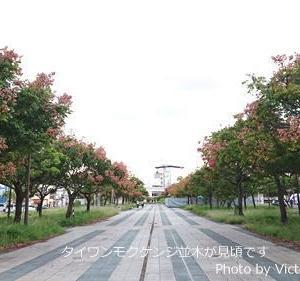 タイワンモクゲンジ並木が見頃です