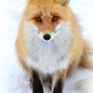 狐のお使い