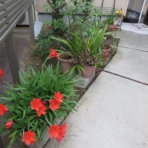 家の庭の花と草取り
