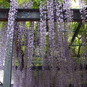 ☆ 我家の庭の三尺藤..今年も咲きました(*_*)
