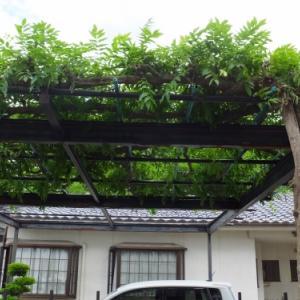 ☆ 庭の三尺藤の手入れをして貰いました‼