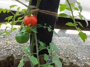 ☆ 藤棚の下でトマト育つ(^_-)-☆