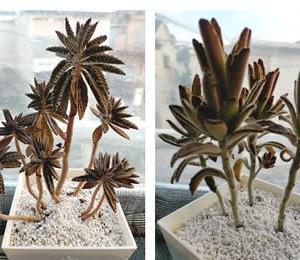 あの植物のチビバージョン もらって来ました