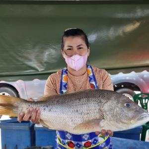 極上の天然物の鯛が入荷