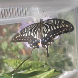 *アゲハ蝶と娘と私*
