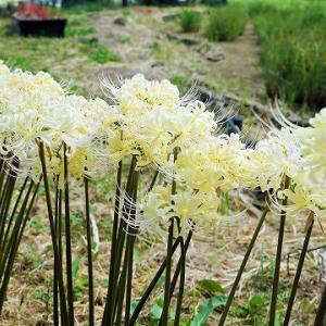 19-9.30BF:水元公園の彼岸花白花その一