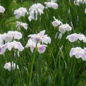 20-6.15blg:水元公園の花菖蒲
