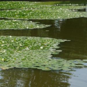 20-6.15blg:水元公園のスイレン