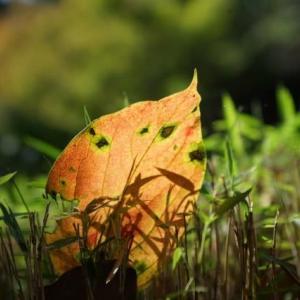 20-10.21blg:戸定邸の落ち葉