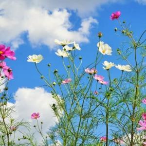 2020-10.21blg:江戸川堤のコスモス白花