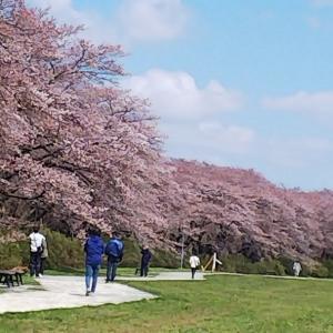 展勝地の桜は