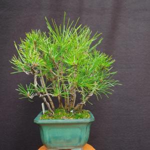 黒松 寄せ植え2009-3