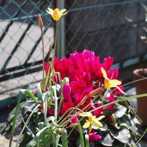 花の盛りのガーデンシクラメン