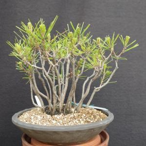 赤松 2009-1寄せ植え