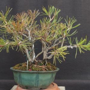 赤松寄せ植え赤松2009-1