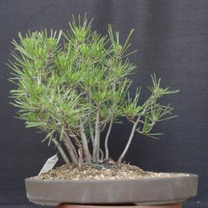 黒松寄せ植え2009-3