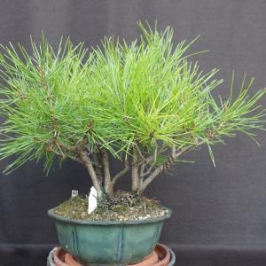 赤松寄せ植え2009-1