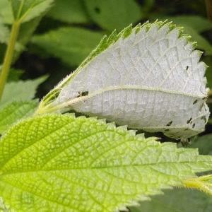 カラムシの葉とアカタテハ