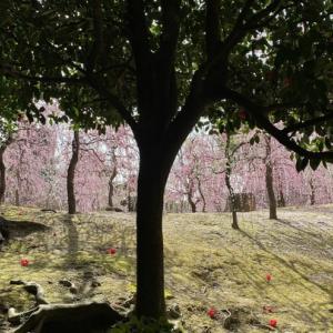 枝垂れ梅と寒椿